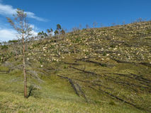 Δάσος μετά από την πυρκαγιά στη λίμνη Baikal Στοκ Φωτογραφίες