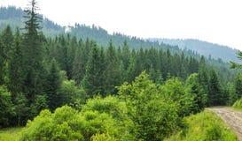Δάσος με τα δέντρα έλατου Στοκ Φωτογραφία