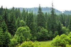 Δάσος με τα δέντρα έλατου Στοκ εικόνες με δικαίωμα ελεύθερης χρήσης