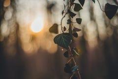 Δάσος με τον κισσό Σκιαγραφία ηλιοβασιλέματος Στοκ φωτογραφίες με δικαίωμα ελεύθερης χρήσης