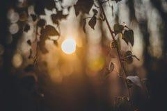 Δάσος με τον κισσό Σκιαγραφία ηλιοβασιλέματος Στοκ εικόνες με δικαίωμα ελεύθερης χρήσης