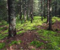 Δάσος με fir-trees και το βρύο Στοκ εικόνες με δικαίωμα ελεύθερης χρήσης
