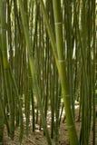 Δάσος μπαμπού σε Anduze Στοκ Φωτογραφία
