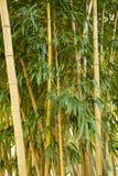 Δάσος μπαμπού σε Anduze Στοκ Φωτογραφίες
