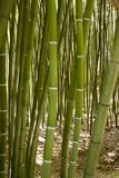 Δάσος μπαμπού σε Anduze Στοκ φωτογραφία με δικαίωμα ελεύθερης χρήσης