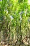 Δάσος μπαμπού στην Ταϊλάνδη Στοκ Εικόνες