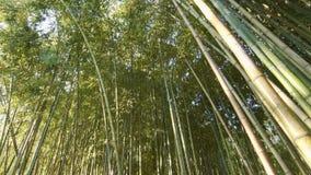 Δάσος μπαμπού στο βράδυ απόθεμα βίντεο