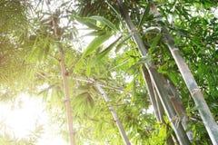 Δάσος μπαμπού στο φως του ήλιου πρωινού, θερμό backgrou εστίασης τόνου μαλακό Στοκ φωτογραφία με δικαίωμα ελεύθερης χρήσης