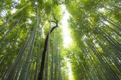 Δάσος μπαμπού Arashiyama στο Κιότο Ιαπωνία Στοκ Φωτογραφίες