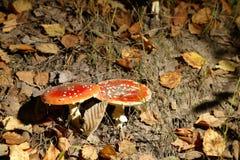 δάσος μυγών αγαρικών Στοκ Εικόνες