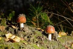 δάσος μυγών αγαρικών Στοκ φωτογραφίες με δικαίωμα ελεύθερης χρήσης