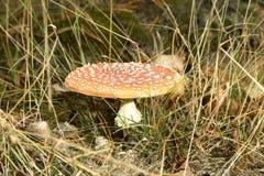 δάσος μυγών αγαρικών Στοκ εικόνες με δικαίωμα ελεύθερης χρήσης