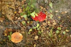 δάσος μυγών αγαρικών Στοκ Εικόνα