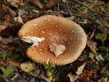δάσος μυγών αγαρικών Στοκ φωτογραφία με δικαίωμα ελεύθερης χρήσης
