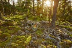Δάσος ξύλου πεύκων στη Φινλανδία στο ηλιοβασίλεμα ενάντια ανασκόπησης μπλε σύννεφων πεδίων άσπρο σε wispy ουρανού φύσης χλόης πρά Στοκ Εικόνες