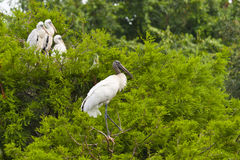 δάσος οικογενειακών πελαργών πουλιών Στοκ φωτογραφία με δικαίωμα ελεύθερης χρήσης