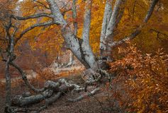 Δάσος ομίχλης φθινοπώρου στοκ εικόνα με δικαίωμα ελεύθερης χρήσης