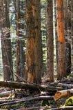 Δάσος οξιά-έλατου Στοκ εικόνες με δικαίωμα ελεύθερης χρήσης