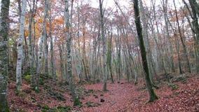 Δάσος οξιών με τα μειωμένα φύλλα το φθινόπωρο απόθεμα βίντεο