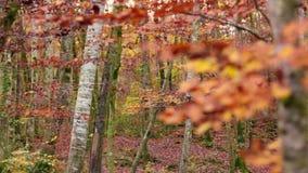 Δάσος οξιών με τα μειωμένα φύλλα το φθινόπωρο φιλμ μικρού μήκους