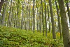 Δάσος οξιών με τη φυσική αναγέννηση Στοκ φωτογραφία με δικαίωμα ελεύθερης χρήσης