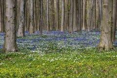Δάσος οξιών με Bluebell, Anemone και Celandine Στοκ Εικόνες