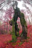 Δάσος οξιών το φθινόπωρο Στοκ Εικόνα