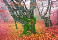 Δάσος οξιών το φθινόπωρο Στοκ φωτογραφίες με δικαίωμα ελεύθερης χρήσης