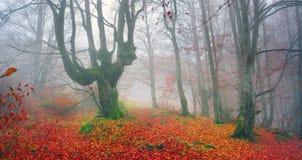 Δάσος οξιών το φθινόπωρο Στοκ Φωτογραφία