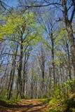 δάσος οξιών στοκ εικόνα με δικαίωμα ελεύθερης χρήσης