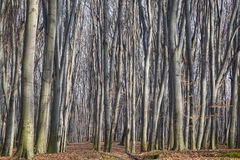 Δάσος οξιών Στοκ Φωτογραφία