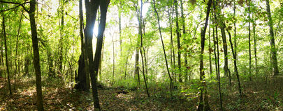 δάσος πανοραμικό Στοκ φωτογραφία με δικαίωμα ελεύθερης χρήσης