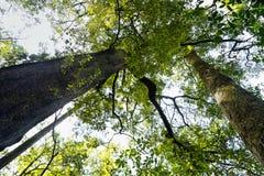 Δάσος περιπάτων της Νέας Ζηλανδίας Totara στοκ φωτογραφίες με δικαίωμα ελεύθερης χρήσης