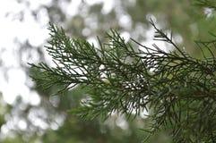 Δάσος πεύκων รื στη περίοδο βροχών Στοκ Εικόνες