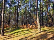 Δάσος πεύκων, η σκιά των δέντρων Στοκ Φωτογραφίες