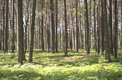 Δάσος πεύκων, Λιθουανία στοκ φωτογραφία