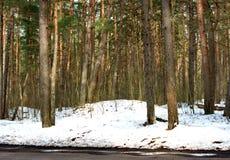 Δάσος πεύκων Μαρτίου άνοιξη Στοκ Φωτογραφίες