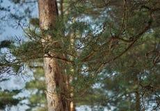 Δάσος πεύκων Μαρτίου άνοιξη Στοκ Εικόνες