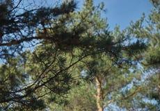 Δάσος πεύκων Μαρτίου άνοιξη Στοκ φωτογραφία με δικαίωμα ελεύθερης χρήσης