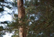 Δάσος πεύκων Μαρτίου άνοιξη Στοκ εικόνα με δικαίωμα ελεύθερης χρήσης