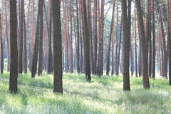 Δάσος πεύκων με τα όμορφα υψηλά δέντρα πεύκων το καλοκαίρι Στοκ εικόνα με δικαίωμα ελεύθερης χρήσης