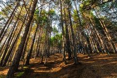 Δάσος πεύκων με τα sunrays Στοκ φωτογραφία με δικαίωμα ελεύθερης χρήσης