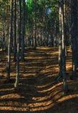 Δάσος πεύκων με τα sunrays Στοκ εικόνα με δικαίωμα ελεύθερης χρήσης