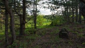 Δάσος πεύκων με την πέτρα Στοκ φωτογραφία με δικαίωμα ελεύθερης χρήσης
