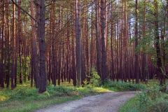 Δάσος πεύκων με το μονοπάτι στο ηλιοβασίλεμα Στοκ Φωτογραφίες
