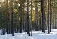 Δάσος πεύκων μια ηλιόλουστη ημέρα το χειμώνα Σκιές δέντρων στο χιόνι στοκ εικόνες