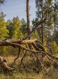 Δάσος πεύκων στα χρώματα φθινοπώρου Στοκ Εικόνα