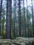 Δάσος πεύκων στην Αγγλία Στοκ Εικόνα