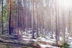 Δάσος πεύκων στην αρχή της άνοιξη κάτω από το χιόνι Τα δασικά Η.Ε στοκ εικόνες