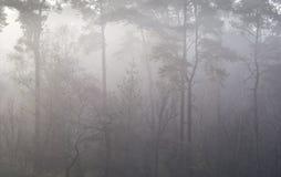 Δάσος πεύκων στην ομίχλη φθινοπώρου Στοκ εικόνα με δικαίωμα ελεύθερης χρήσης